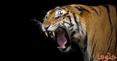 النمر في المنام وتفسير رؤية النمور في الحلم بالتفصيل