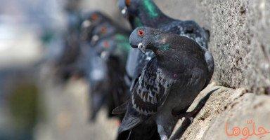 تفسير رؤية طيور الحَمام في المنام ومعنى رؤية الحمامة في الحلم بالتفصيل