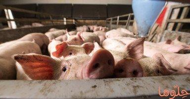 رؤية الخنزير في المنام وتفسير حلم الخنازير بالتفصيل