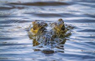 التمساح في المنام وتفسير رؤية التماسيح في الحلم بالتفصيل