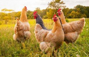 تفسير رؤية الدجاج في المنام وحالات رؤية الدجاجة في الحلم بالتفصيل